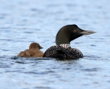 loon-with-chick-on-Taylor-Pond-Auburn_2