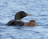 loon-with-chick-on-Taylor-Pond-Auburn_3