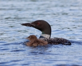 loon-with-chick-on-Taylor-Pond-Auburn_6