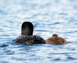 loon-with-chick-on-Taylor-Pond-Auburn_7