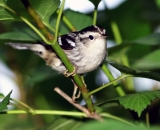 Black-and-White-Warbler-in-shrub_DSC01566