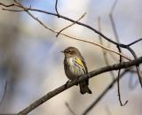 Yellow-rumped-Warbler-on-branch_DSC09387