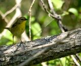 female-Common-Yellowthroat-on-branch_DSC06452