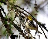 male-Black-throated-green-Warbler-singing-on-branch_DSC07466