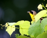 male-Common-Yellowthroat-among-leaves-singing_DSC09269