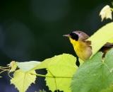 male-Common-Yellowthroat-among-leaves_DSC09258