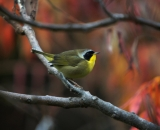male-Common-Yellowthroat-on-branch-in-fall_DSC09160