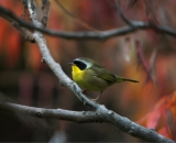 male-Common-Yellowthroat-on-branch-in-fall_DSC09165