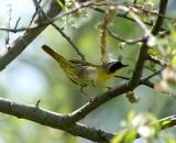 male-Common-Yellowthroat-on-branch_DSC06475