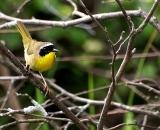 male-Common-Yellowthroat-on-branch_DSC06690