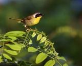 male-Common-Yellowthroat-on-branch_DSC08671