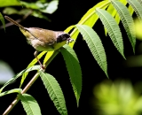 male-Common-Yellowthroat-with-bugs_DSC07379