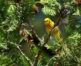 male-Yellow-Warbler-in-cedar_DSC07087