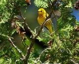male-Yellow-Warbler-in-cedar_DSC07088