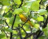 male-Yellow-Warbler-in-flowering-shrub_DSC02007