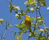 male-Yellow-Warbler-in-flowering-shrub_DSC02786