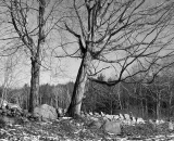 bare-maple-trees-along-stone-wall_B-W 01035