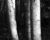 birch-tree-trunks_B-W 01026