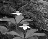 bunchberry-flowers-and-log_B-W 02003