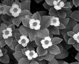 bunchberry-flowers_B-W 02004