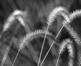 gress-seed-heads_B-W 01019