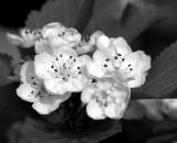 hawthorn-flowers_B-W 02002