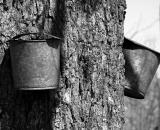 maple-sap buckets-on-maple-tree_B-W 02001