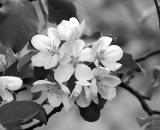 apple-blossoms_B-W 02014