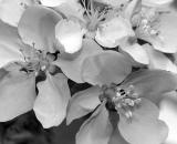 apple-blossoms_B-W 02015
