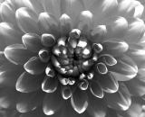 dahlia-close-up_B-W 02033