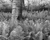 ferns-and-birch-trunk_B-W 02028
