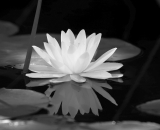 water-lily-with-reflection_B-W 02027
