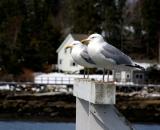 two-gulls-on-dock_DSC04201