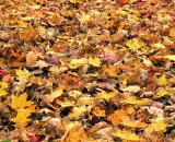 Fallen autumn leves blanket the ground