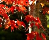 fall-foliage-maple-and-birch_DSC00203