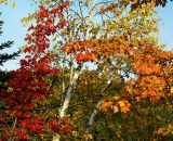 fall-foliage-maple-and-birch_DSC00332