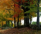 fall-foliage-maples-along-stone-wall_DSC02595