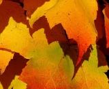 fall-foliage- yellow-and-orange-maple-leaves_Dscn2747