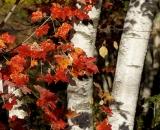 Red maple leaves against birch trunks