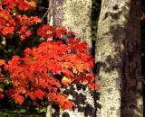 Red maple leaves against tree trunks