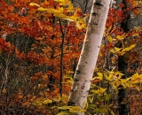 fall-foliage-birch-and-beech_PICT2062