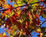 fall-foliage-colorful-oak-leaves-against-blue-sky_P1100111