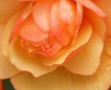 Begonia close up - 01
