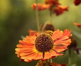 Close-up, late summer flowers - 02