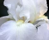 White iris close-up