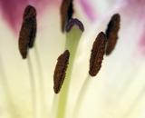 "Asiatic lily ""Lollipop"" -01"