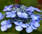 Hydrangea blossoms - 2
