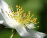 Multiflora Rose close-up