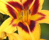 Yellow and orange day lily - 05
