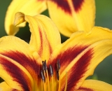 yellow-and-orange-day-lily-06